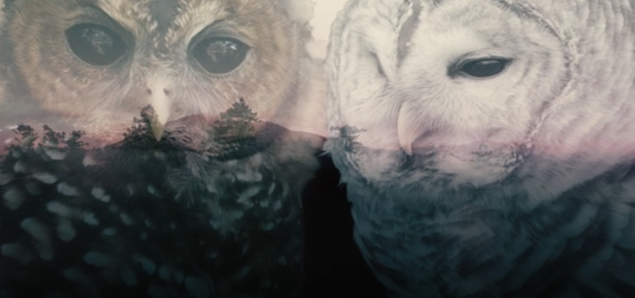 pictures of a Spotted and a Barred owl