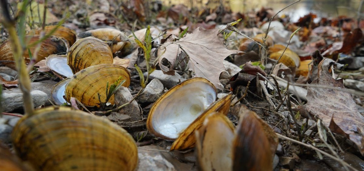 "Biologists pile fresh dead mussel shells on the edge of the Clinch River after documenting the species' number and type. The smell can get ""real bad,"" says biologist Rose Agbalog."