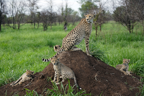 mother cheetah on termite mound with three cubs nearby