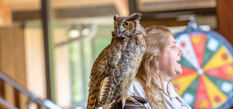 An owl is perched on a woman's gloved hand