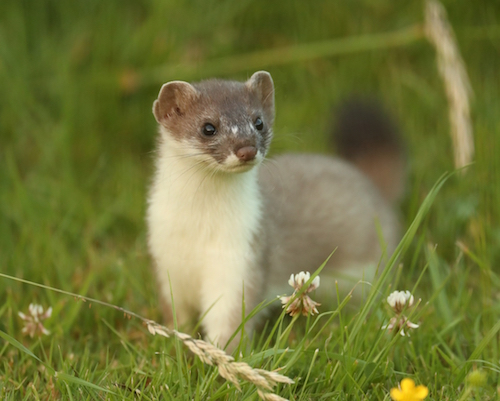 Young male stoat