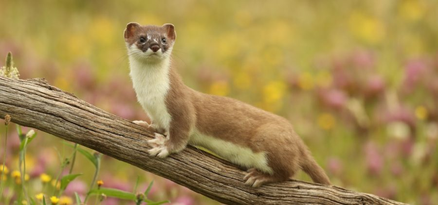 weasel on branch
