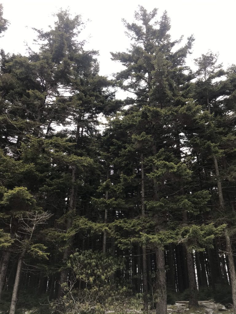 A rare stand of old red spruce trees in WV.
