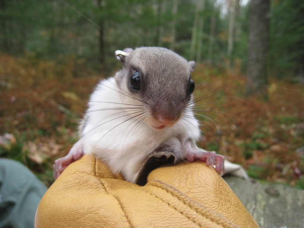 Biologists tag and release a northern flying squirrel.