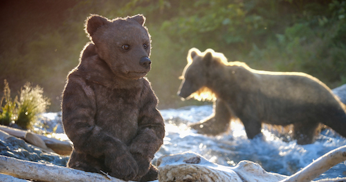 Spy Bear at river with grizzly bear in background