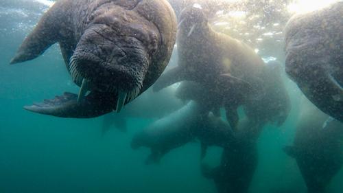 Underwater walrus pup looking to spy camera. Svalbard, Norway.