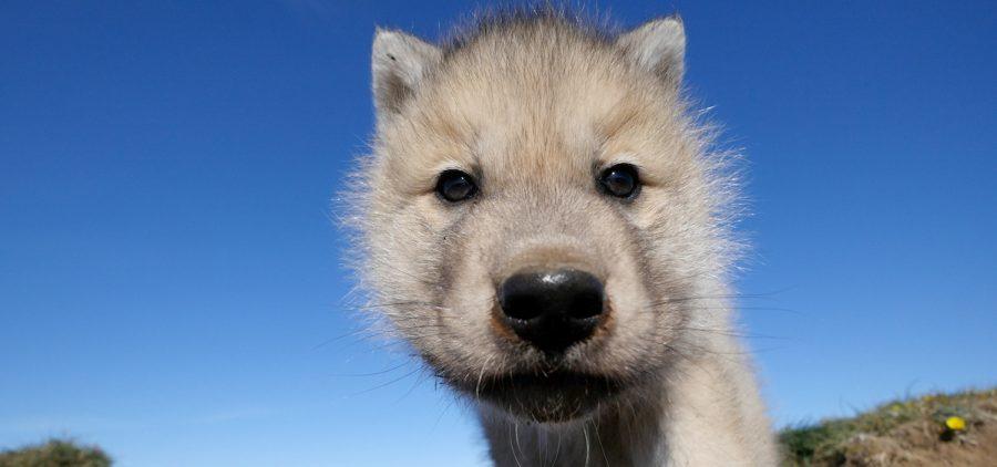 Arctic wolf cub looking to lens. Ellesmere Island, Canada.