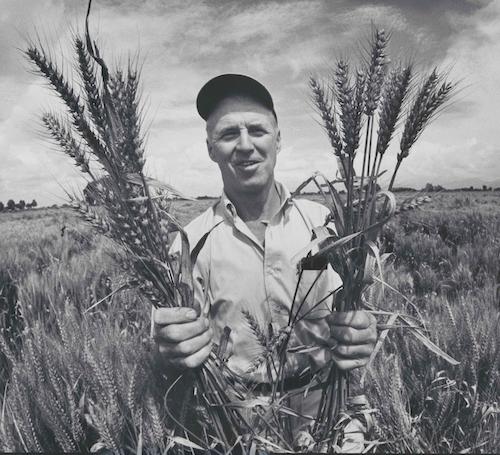 Norman Borlaug holding wheat