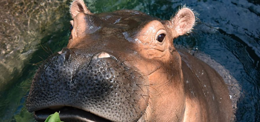 """Fiona is a 3-year-old, 1,300-pound hippo, and she's a growing girl. Her keeper, Jenna Wingate, is grateful to be able to work during the coronavirus crisis: """"It feels good to be needed,"""" she says."""