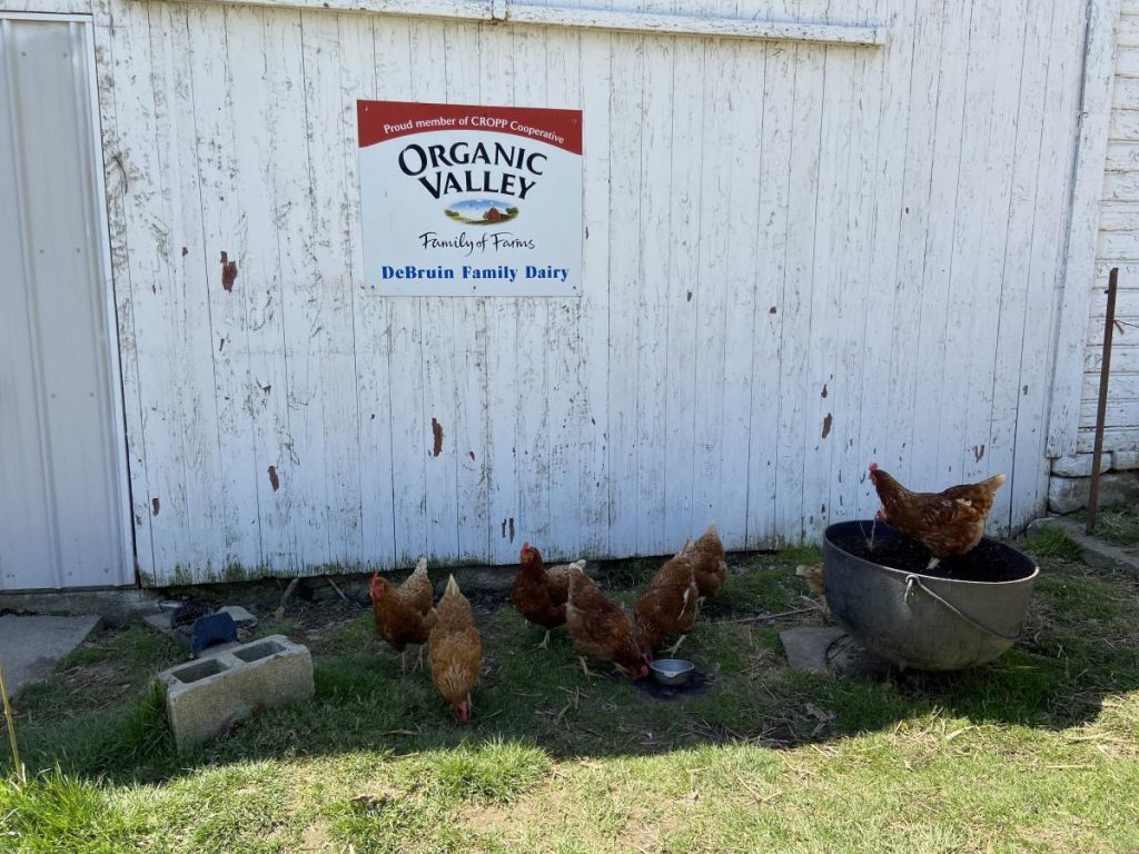 Chickens at the DeBruin farm