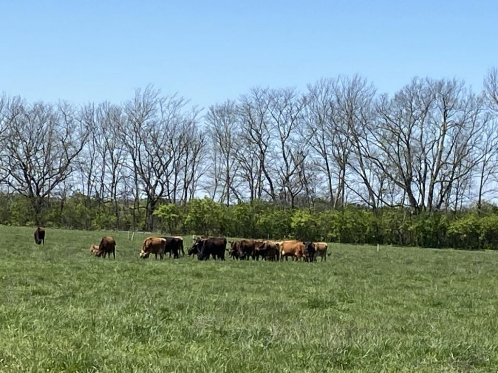 Cows graze at the DeBruin farm