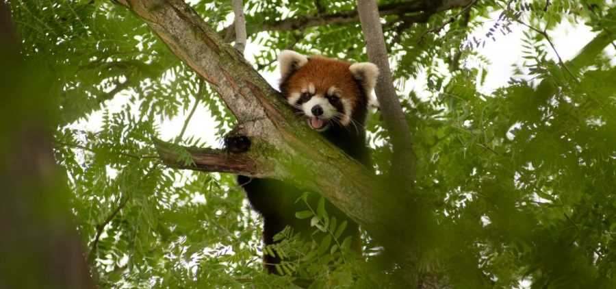 Kora, the red panda who was discovered missing from her habitat was found in a tree at the Columbus Zoo on Thursday
