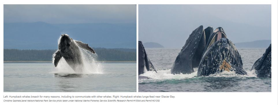 Left: Humpback whales breach for many reasons, including to communicate with other whales. Right: Humpback whales lunge-feed near Glacier Bay.