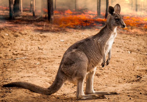 Australia's kangaroos saved from the fire in the Australian forests.