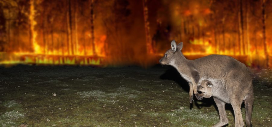 Kangaroo escaping from Australia bush fire devastation