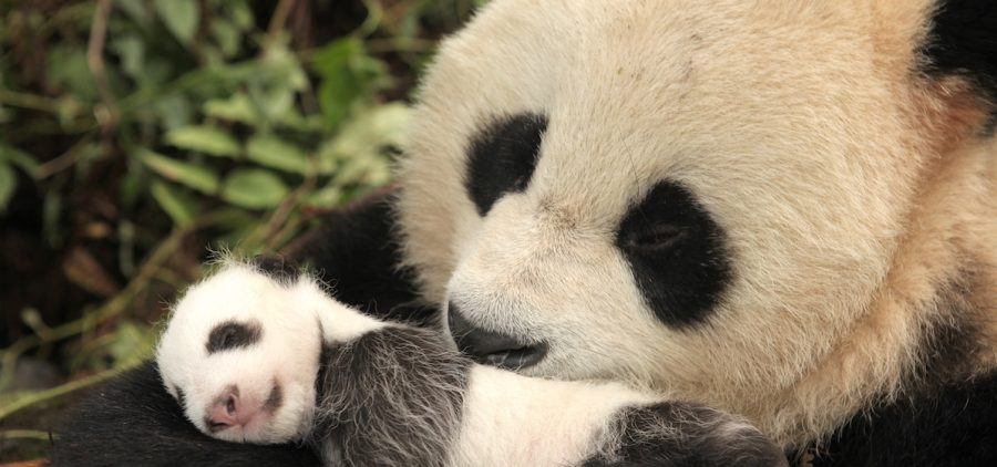 Giant Panda mother and her one-month-old cub. Wolong Panda Center, China.