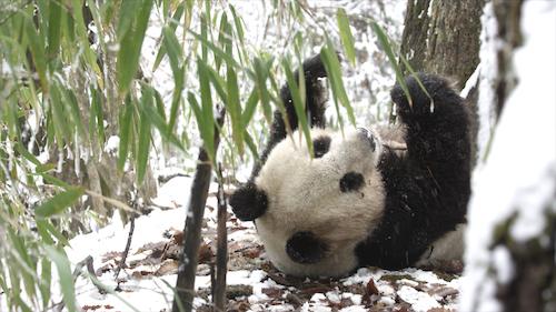 Giant Panda feeding on bamboo.