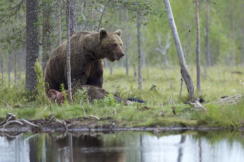European Brown Bear. Lapland, Finland.