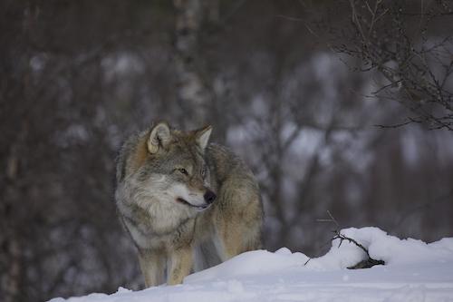 Eurasian Wolf. Lapland, Finland.