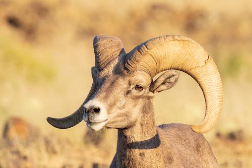 Male Bighorn sheep. Big Bend, Texas.