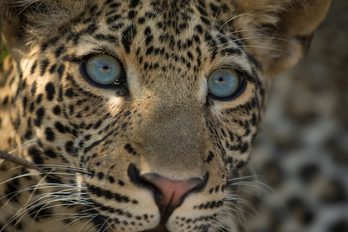 A young leopard. Zambia, Africa.