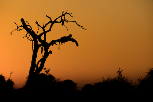 The silhouette of a leopard resting on a dead ancestral tree. Zambia, Africa.