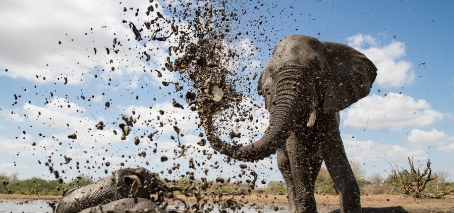 An African elephant sprays mud over itself to keep cool and protect its skin under the intense African sun.