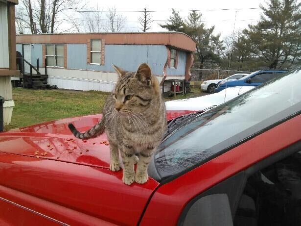 One of Jimmy McRoberts' rescue cats sits on a car in the park.
