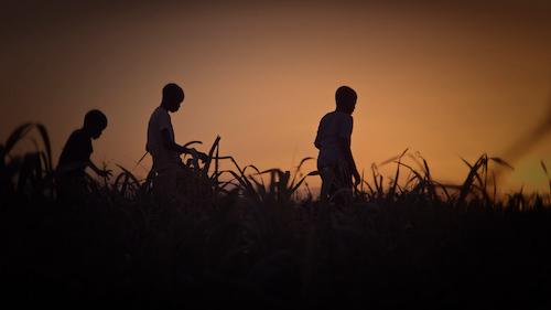 Boys in sugar cane field