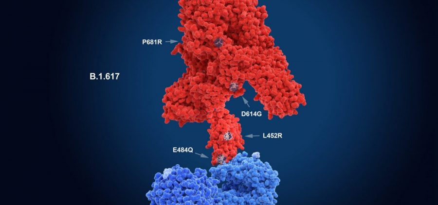 The numerals in the illustration show the main mutation sites of the delta variant first detected in India, which is likely the most contagious version of the coronavirus. Here, the virus' spike protein (red) binds to a receptor on a human cell (blue). New research sheds light on what makes this variant so transmissible.