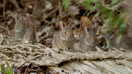 Two-week-old baby Cottontail rabbits.