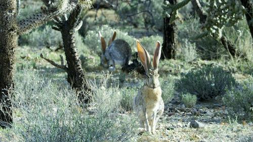 Antelope jackrabbit.
