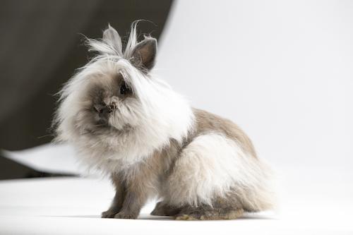 Lionhead rabbit, a domestic breed