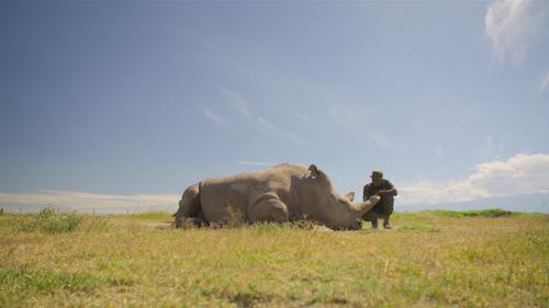 James Mwenda sitting with Northern White Rhino, Kenya