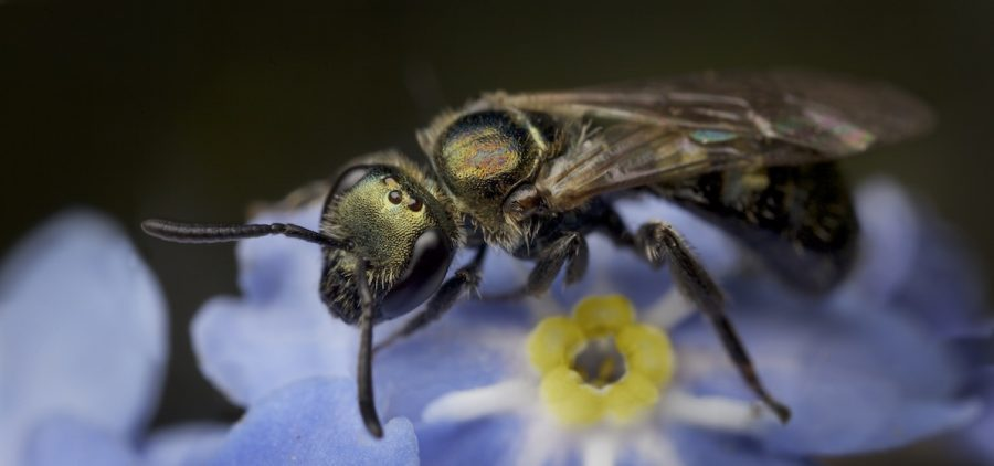 Brassy mining bee on forget-me-not flower